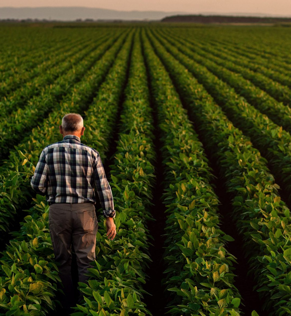 farmer checking field of crops and levels of molasses fertilizer